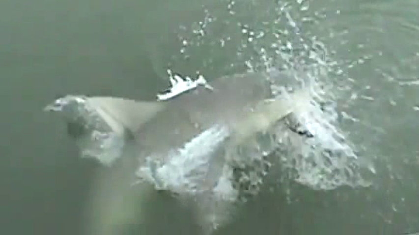 14 foot tiger shark caught off north myrtle beach for Shark fishing myrtle beach
