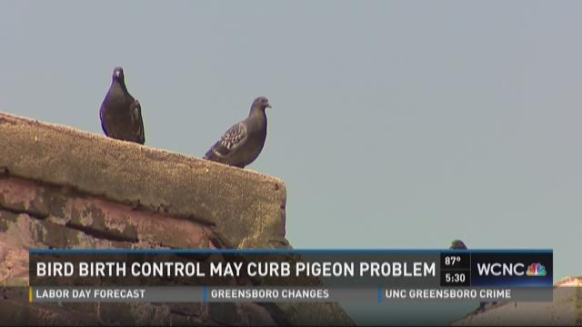 Bird birth control may curb pigeon problem