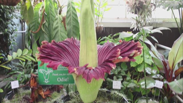 wcnc.com | 2nd corpse flower in full bloom at UNC Charlotte